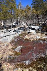 seep with red algae (ophis) Tags: seep algae redalgae bluehill bluehillsreservation canton pinales cupressaceae juniperus juniperusvirginiana redcedar