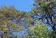 three conifers (ophis) Tags: pinales cupressaceae juniperus juniperusvirginiana redcedar pinaceae pinus pinusrigida pinusstrobus pitchpine whitepine conifer