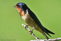 Barn Swallow (Arvo Poolar) Tags: outdoors ontario canada arvopoolar cardenontario nature naturallight natural naturephotography nikond500 bird barnswallow perched