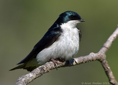 Tree Swallow (Arvo Poolar) Tags: outdoors ontario canada arvopoolar cardenontario nature naturallight natural naturephotography nikond500 bird treeswallow perched