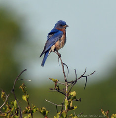 Eastern Bluebird (Arvo Poolar) Tags: outdoors ontario canada arvopoolar cardenontario nature naturallight natural naturephotography nikond500 bird easternbluebird perched