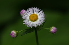 Daisy (Diane Marshman) Tags: wildflower tall native perennial daisyfleabane daisy fleabane flowers bud small tiny white petals yellow orange center purple lavender green leaves closeup nature pa pennsylvania plant spring blooming blooms