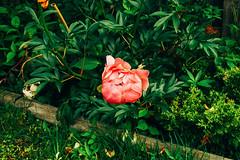 peonies in bloom (spablab) Tags: sony dscv1 peonies chicago bloom spring vsco peony