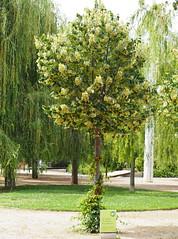 Tilia tomentosa_P6090028 (tgrauros) Tags: arbres barcelona catalunya malvaceae parcdelcentredelpoblenou tellargentat til·lers tiliatomentosa tiloplateado trees silverlinden silverlime tilohúngaro tilleulargenté tilleuldehongrie teiargintiu