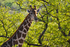 A7302102 (do small things with great love) Tags: africa namibia etoshaeightsreserve giraffe