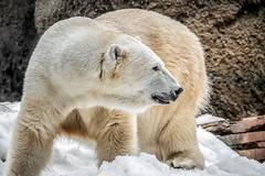 Getting Frisky (helenehoffman) Tags: snowday2019 bear wildlife ursidae mammal ursusmaritimus polarbearplunge sandiegozoo polarbear chinook snow animal arctic conservationstatusvulnerable alittlebeauty coth specanimal coth5 specanimalphotooftheday