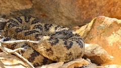 Great basin rattlesnake (Crotalus oreganus lutosus) (phl_with_a_camera1) Tags: great basin rattlesnake crotalus oreganus lutosus