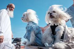 Good Hair Day (Gisele Duprez) Tags: dogs maltese coneyisland nyc fujifilm fujifilmx70 streetphotography
