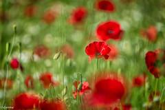 10062019-DSC_0057 (vidjanma) Tags: champ coquelicots fleurs