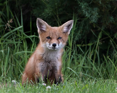 Sitting pretty (ingham_laura) Tags: redfox foxes wilderness wildlife nature foxkits enviornment forrest