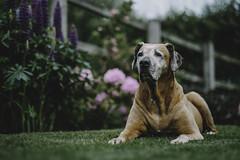 LILLY (allancrutchley) Tags: rhodesianridgeback africanlionhound dog dogsofinstagram home barn cheshire cheshirelife instamood fujifilmxt2