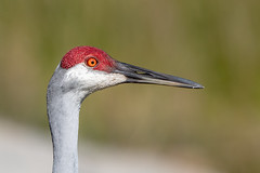 Sandhill Crane Portrait (Linda Martin Photography) Tags: sandhillcrane wildlife nature bird stcloud lakefrontpark gruscanadensis animal florida naturethroughthelens coth coth5 ngc npc
