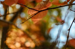 Otoñales 7/24 (Irene Carbonell) Tags: otoño montevideo colores hojasdeotoño nikon 35mm