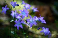 Glockenblumen (Mariandl48) Tags: glockenblumen sommersgut wenigzell steiermark austria insekt biene licht schatten
