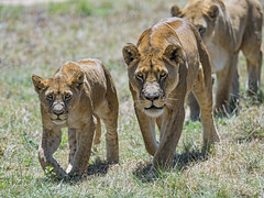 Lioness and young lion walking (Tambako the Jaguar) Tags: lion big wild cat group many together lioness female walking portait grass savanna sunny lionsafaripark johannesburg southafrica nikon d5