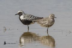 Chorlito gris (Pluvialis squatarola) (jsnchezyage) Tags: chorlitogris pluvialissquatarola ave pájaro bird birding birdwatching ornithology beak feather greyplover