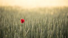 Champ de Blé (sebp51) Tags: blé champ coquelicot 105 nikon fleur landscape nature