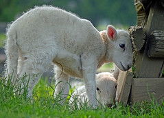 Farmer's (1) (AbbyB.) Tags: cooperstown newyork newyorkstate travelphotography rural farm thefarmersmuseum lamb babies sheep