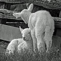Farmer's (2) (AbbyB.) Tags: cooperstown newyork newyorkstate travelphotography rural farm thefarmersmuseum lamb babies sheep