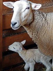 Farmer's (3) (AbbyB.) Tags: cooperstown newyork newyorkstate travelphotography rural farm thefarmersmuseum lamb babies sheep