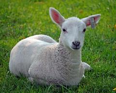 Farmer's (30) (AbbyB.) Tags: cooperstown newyork newyorkstate travelphotography rural farm thefarmersmuseum lamb baby sheep