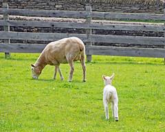 Farmer's (35) (AbbyB.) Tags: cooperstown newyork newyorkstate travelphotography rural farm thefarmersmuseum lamb baby sheep