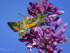 Clark's Sphinx Moth (Proserpinus clarkiae) (shastamax) Tags: specinsect moth sphinxmoth clarkssphinxmoth proserpinusclarkiae proserpinus bmna green orange california insect macro pollinator lilacs