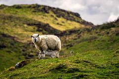 Scotish Sheep Family (CHCaptures) Tags: frühling isleofmull schottland scotland sheepfamily tierwelt uk unitedkingdom a6000 animal nature outdoor sel70200g sheep sheepmother sony
