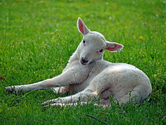 Farmer's (32) (AbbyB.) Tags: cooperstown newyork newyorkstate travelphotography rural farm thefarmersmuseum lamb baby sheep