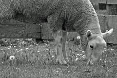 Farmer's (40) (AbbyB.) Tags: cooperstown newyork newyorkstate travelphotography rural farm lamb baby sheep thefarmersmuseum