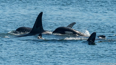 Orca Five (Robert Streithorst) Tags: alaska five juneau nature ocra robertstreithorst sea waterlife whale wildlife
