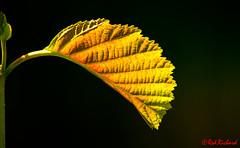 Tranlucence (red.richard) Tags: leaf translucence light stem closeup macro nikon d800 cof072 cof072dmnq cof072mari cof072mark cof072evim