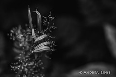 still lifes ... (andrealinss) Tags: stilllifes garden garten jardin availablelight detail blackandwhite bw andrealinss 35mm