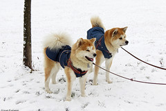 Keiko and Masami (Ivan Furlanis) Tags: akita inu dog cane hund