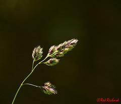 Grass (red.richard) Tags: grass colours seed closeup nikon d800 cof072 cof072dmnq cof072hole cof072cott cof072radm cof072wern cof072mvfs