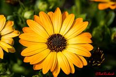 Garden Flower 1 (red.richard) Tags: flower garden yellow flora nikon d800 cof069mari cof069mark cof069dmnq cof069chri cof069chon