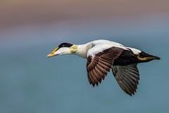 Eider Duck (Phil Gower Bird Photography) Tags: eider duck bird flight wildfowl