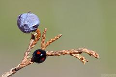 Wee Lady (Vie Lipowski) Tags: ladybug ladybird ladybeetle chilocorusstigma twicestabbedladybeetle juniperberry beetle insect bug leaf plant berry spring wildlife nature macro
