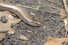 Another nice looking Slow Worm profile (StevePaisley) Tags: slow worm legless lizard reptile