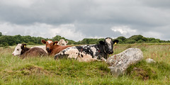 Ladies at rest (Keith now in Wiltshire) Tags: cow livestock animal farm resting grass field rock sarsenstone tree sky wiltshire landscape