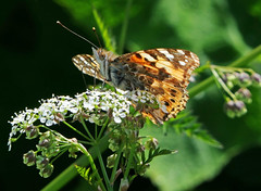 Painted Lady Butterfly (eric robb niven) Tags: ericrobbniven scotland painted lady wildlife nature butterfly springwatch dundee