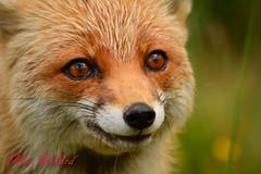 Fox (kirapol) Tags: goingdigital fox cat wild barn owl