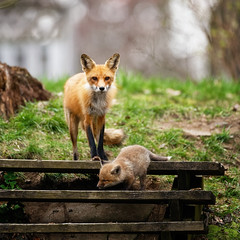 _851572 (mikerofoto) Tags: animals fox foxes naturelovers urbanwildlife wildlife wildlifeaddicts wildlifelovers wildlifephotography wildlifeplanet