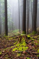 Dans le nuage (Nu Mero) Tags: mousse arbre foret brouillard valléedevillé nature brume saintmartin basrhin france