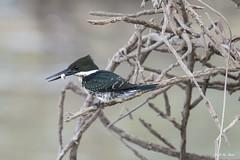 DSC_1633 (P2 New) Tags: 2018 alcedinidae animaux cayenne coraciiformes date guyane martinpêcheurvert novembre oiseaux pays vieuxport