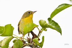 Common Yellowthroat (jt893x) Tags: 150600mm bird commonyellowthroat d500 female geothlypistrichas jt893x nikon nikond500 sigma sigma150600mmf563dgoshsms songbird warbler yellowthroat thesunshinegroup coth coth5