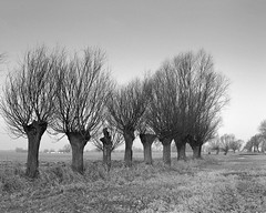 Willows (fotoswietokrzyskie) Tags: mamiyarz67 blackandwhite willows scan film medium format 6x7 monochrome tree winter ilford delta400 ddx sekor 90mm trees road grass landscape