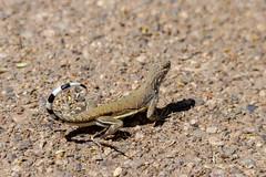 Zebra Tail On Display (playful_i) Tags: botanicalgardens tohonochul tucson zebratailedlizard birds lizard reptile