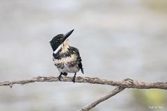 DSC_1662 (P2 New) Tags: 2018 alcedinidae animaux cayenne coraciiformes date guyane martinpêcheurvert novembre oiseaux pays vieuxport