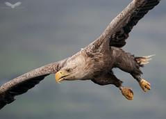 White-tailed sea eagle (Andy Davis Photography) Tags: iolairemhara eagle haliaeetusalbicilla flight fishing water sea loch iolairesuilenagrein theeaglewiththesunliteye bird sky wood landscape animal ocean sony